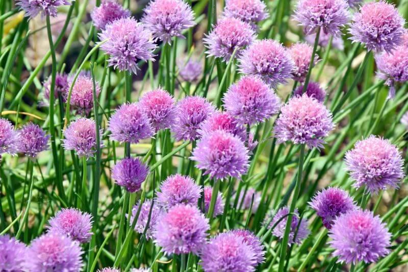 Cvetove drobnjaka vidimo tudi na travniku Zapper Zaper Zaperino