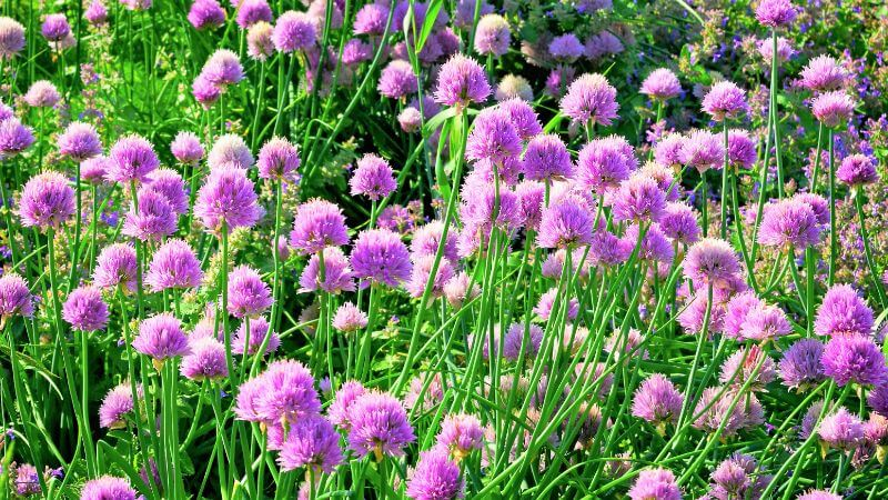 Vijolično cvetenje drobnjaka Zapper Zaper Zaperino